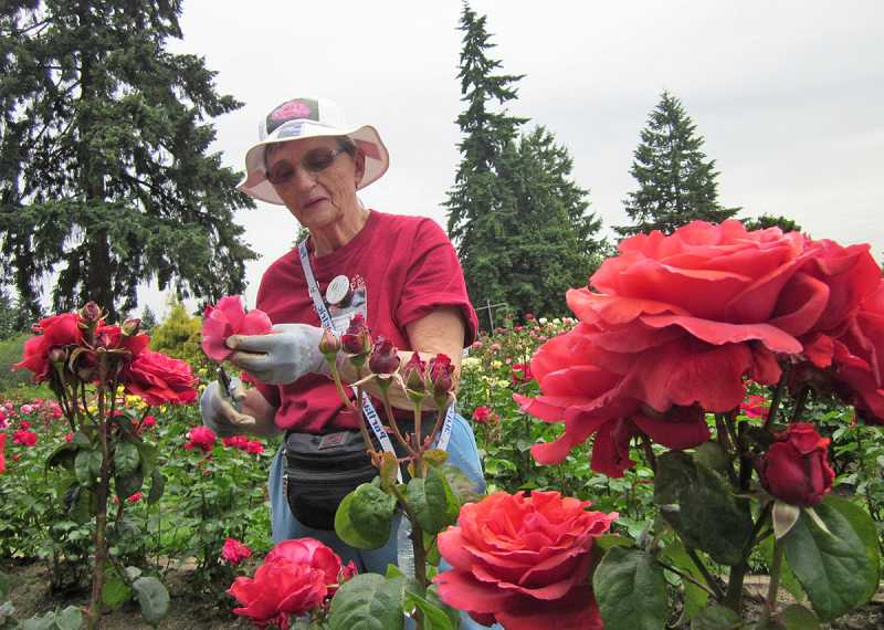 by: BARBARA SHERMAN - PRUNING IN THE SUN IS FUN - The Washington Park International Rose Test Garden is in full bloom on June 7, when Pat Klum of King City dead-heads roses while husband Bob is nearby working as a park host.