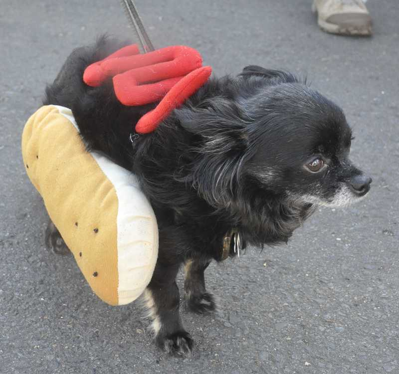 by: LORI HALL - Ricco, owned by Sammy Steeh, was dressed for laughs before the wiener dog race during the second annual Dog Days of Summer at West Linn's farmers market on Aug. 1.