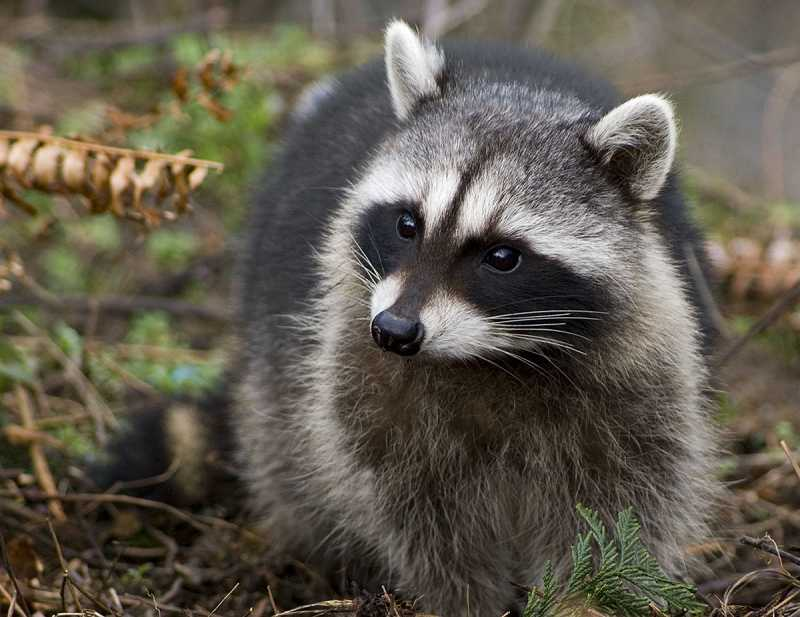 by: SUBMITTED - The raccoon can be a pesky and somewhat invisible interloper onto private property, coming out mainly at night and hanging out under decks or behind small buildings during the day.