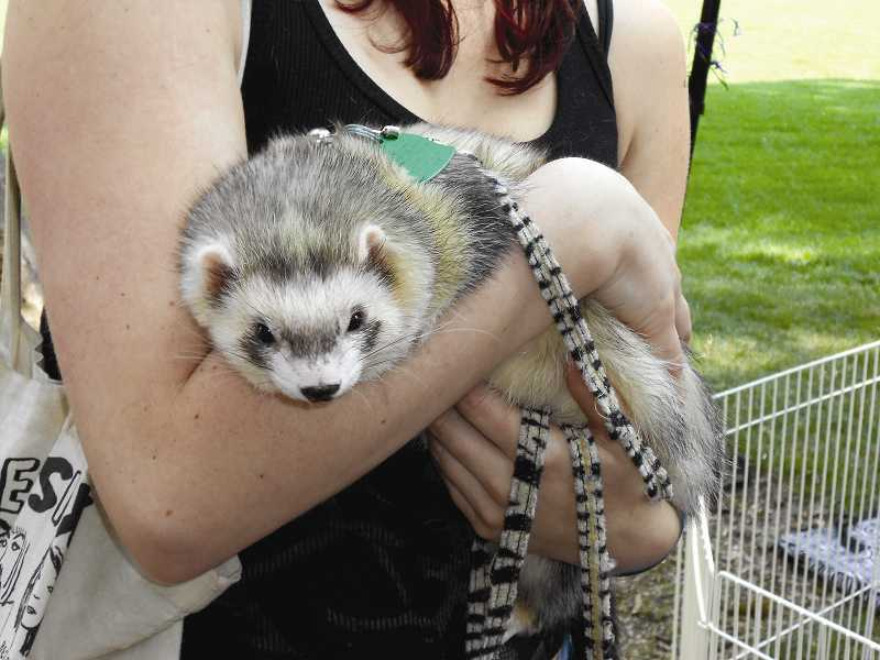 by: JORDY BYRD - Festus, on of the biggest ferrets at the event, will turn 2 in September.