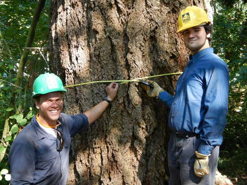by: ROBERTA SCHWARZ - Brian Oringdulph and Mitche Everts measure a 250+ year-old douglas fir. The team hopes it will be approved as a heritage tree.