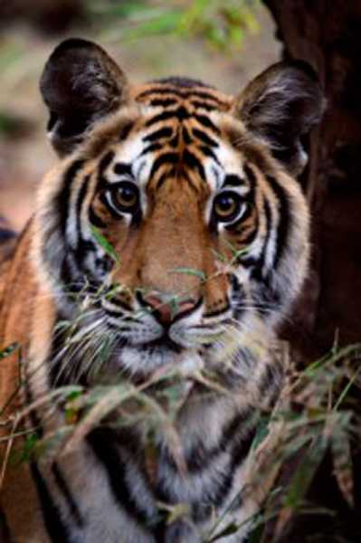 by: SUBMITTED PHOTO: JULIE JUNGERS - World traveler and photographer Julie Jungers is exhibiting her photographs from around the world at the Hoffman Gallery on the Lewis and Clark College campus through Oct. 14. This Bengal tiger was photographed by her at Bandhavgarh National Park in India in 2008.