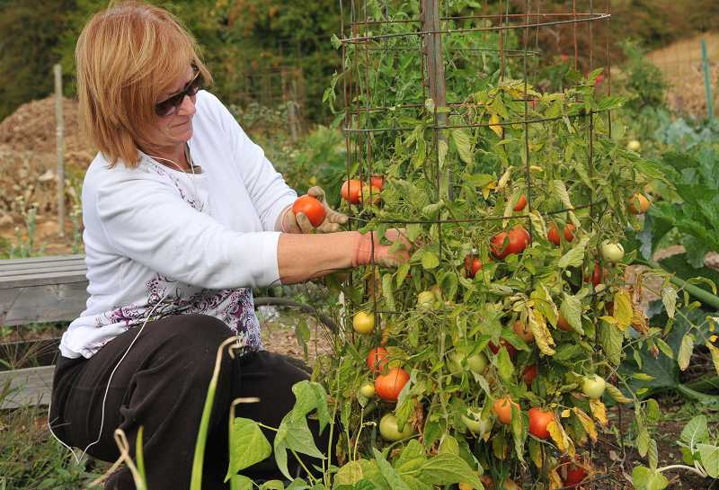 by: VERN UYETAKE - Mindy Todd picks some of her ripened tomatoes.