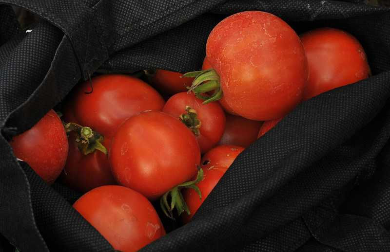 by: VERN UYETAKE - Beautifully ripened tomatoes are being picked by many of the gardeners.