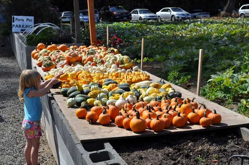 by: SUBMITTED PHOTOS: ROBERTA SCHWARZ - Pumpkins and gourds galore were on display at the Festival at the Farm. Neighbors for a Livable West Linn hosted the festival at Fiala Farm in West Linn.