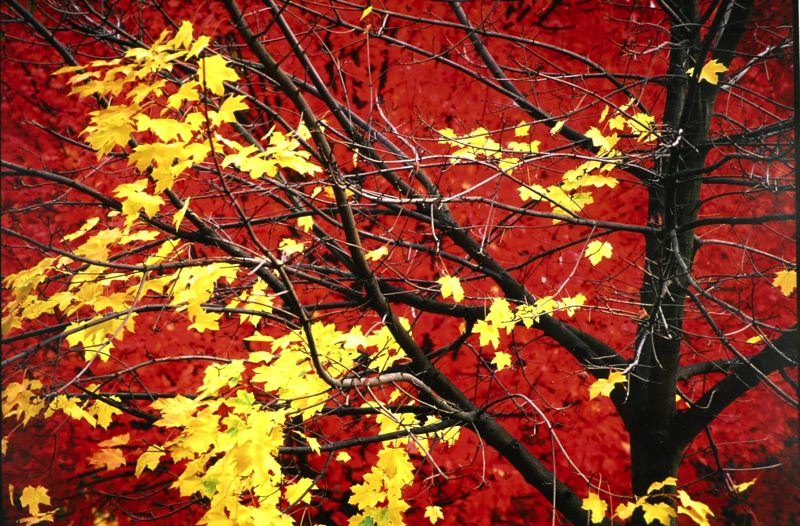 by: CONTRIBUTED PHOTO - Red and Yellow Maples, photography by Dave Davidson  CONTRIBUTED PHOTO