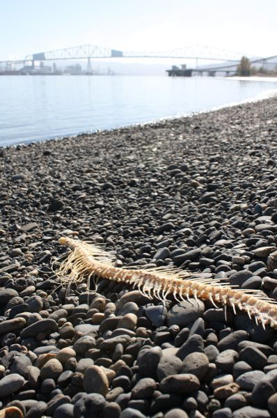 by: KATIE WILSON - A skeleton of a fish sits at Dibblee Point, a popular fishing spot near Rainier officials hope will one day become a legitimate county park.