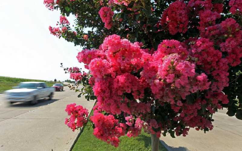 by: SUBMITTED PHOTO - Receive a free crapemyrtle tree when you join the Foundation in October.