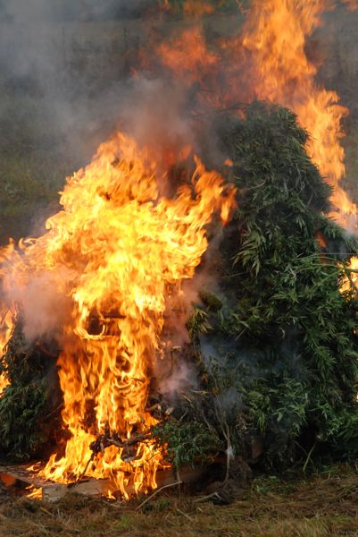 by: CENT - Twenty-three large marijuana plants burn after officers confiscated them from what they believe was an illegal grow operation in Vernonia.
