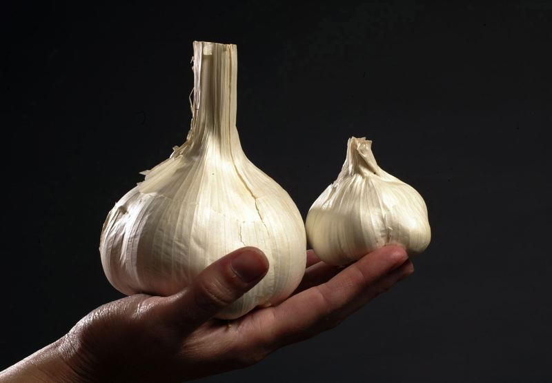 by: HILLSBORO TRIBUNE FILE PHOTO - Elephant garlic is just one of several varieties of the pungent root crop you can find at the Hillsboro markets this month.