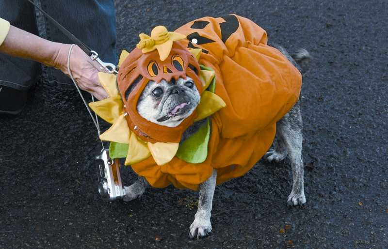 by: SUBMITTED - A pug-o-lantern struts her stuff during the annual Halloween Canine Costume Contest. This year the event moves to Ash Avenue Dog Park, off Southwest Burnham Road, in Beaverton.