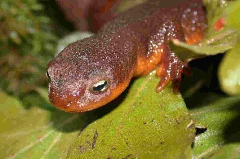 by: SUBMITTED PHOTO - Newts will be the guests of honor at the Tualatin Hills Nature Park.