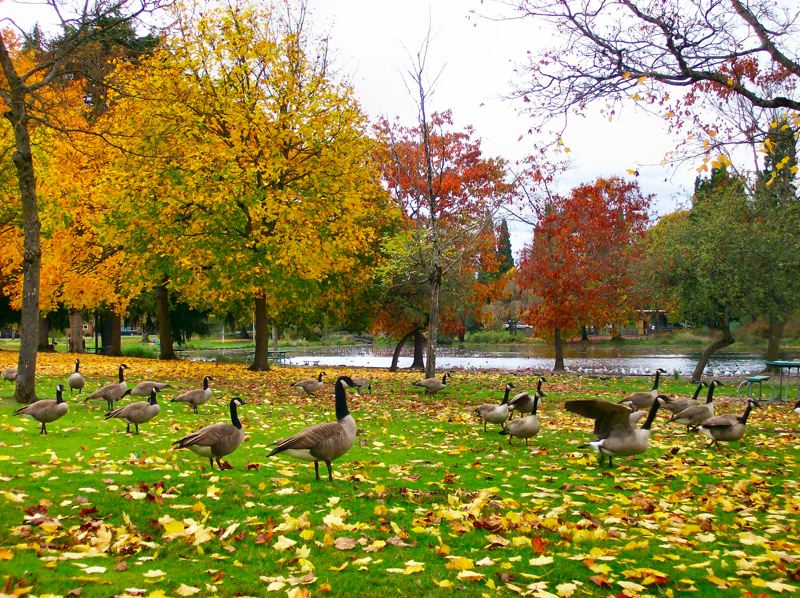 by: RITA A. LEONARD - Canada geese provided 50 shades of grey at Westmoreland Park.