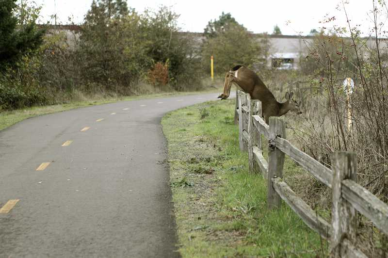 by: JAIME VALDEZ - When a proposed connector trail between the Westside and Waterhouse trail system is completed, more pedestrians and bicyclists will be able to experience wildlife scenes such as this deer jumping over a fence near the Tualatin Hills Nature Park last week.