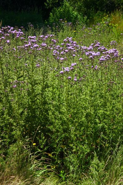 by: COURTESY OF GLENN MILLER - Canada thistle may be pretty but it's invasive
