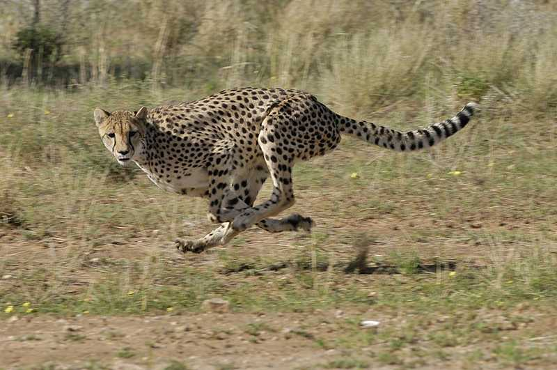 by: RICH SCHMIDT - The cheetah is a magnificent animal, but its existence is now threatened by human encroachment.