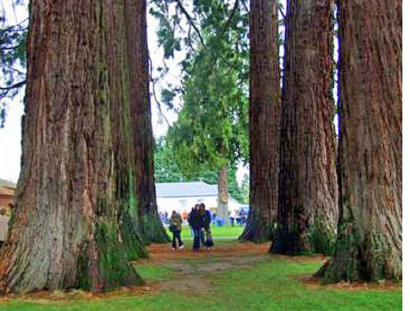 by: ISABEL TORREY - A STROLL THROUGH THE REDWOODS -- Guests at the Verboort festival stroll among a dozen Redwoods on the property after they finish dinner.