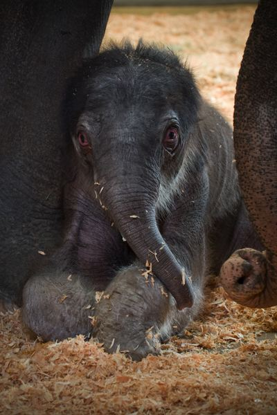 by: COURTESY OF THE OREGON ZOO: MICHAEL DURHAM - Asian elephant Rose-Tu bonds with her new calf at the Oregon Zoo. The zoo is asking the community to help choose a name for the baby elephant.
