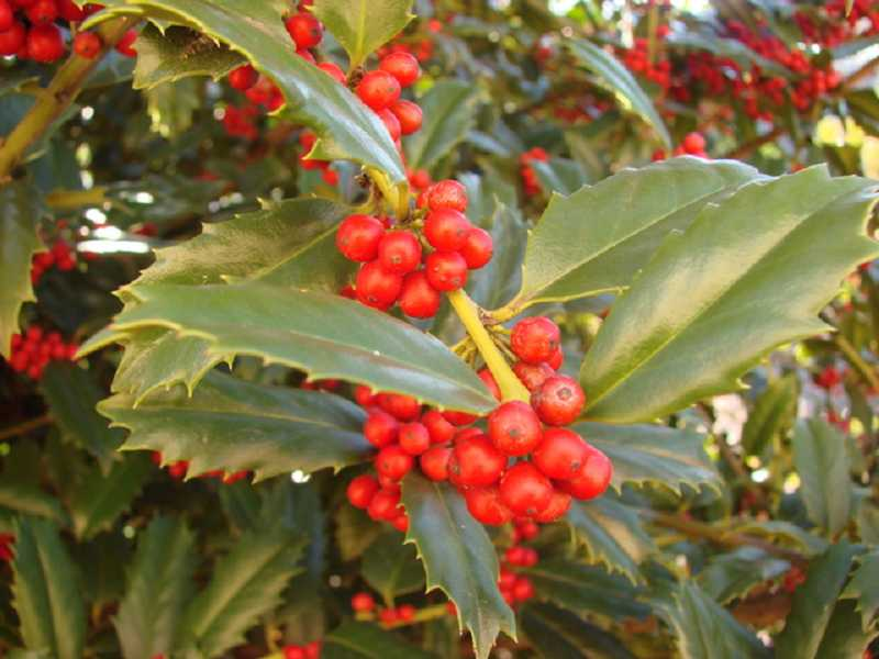 by: SUBMITTED PHOTO - Mistletoe leaves and berries are poisonous if swallowed.