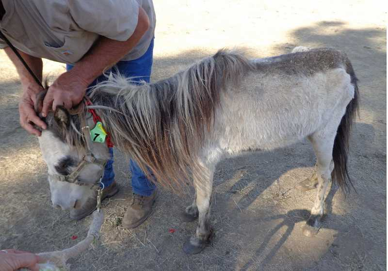 by: LISKA & ASSOCIATES AUCTIONEERS - Some of the miniature ponies confiscated from a ranch in Cove Junction showed signs of starvation.