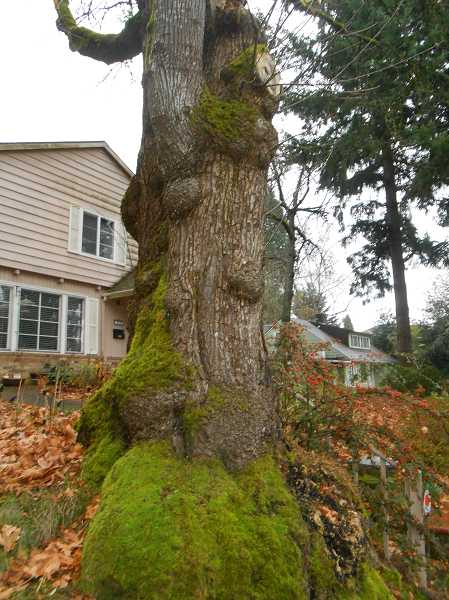 by: SUBMITTED PHOTO - The Dinosaur Tree in Lake Oswego is gone but the dinosaurs will be back.