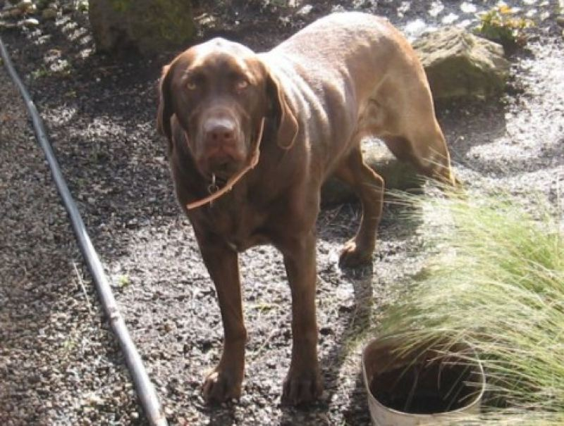 by: SUBMITTED PHOTO - Ruby, a 2-year-old chocholate lab, is still missing after being swept away in the Willamette River at Gladstone's Meldrum Bar Park on Nov. 14.