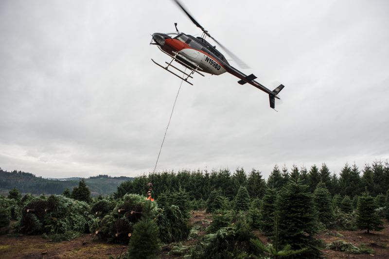 by: NEWS-TIMES PHOTO: CHASE ALLGOOD - A helicopter helps with the Christmas tree harvest at the Banks farm run by Mark and Daryl Schmidlin, whose 70 acres of Christmas trees made up a small part of Washington Countys 2,300 overall acres of the crop in 2010.