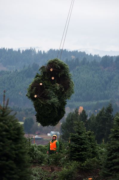 by: NEWS-TIMES PHOTO: CHASE ALLGOOD - Mark Schmidlin watches a bundle of Christmas trees rise into the air. After a lifetime of teamwork,  the Schmidlin brothers run like a well-oiled machine. Mark does the selling, paperwork and sawing; Daryl bales, hauls and shags. Its nice not to have to make all the decisions by yourself, Daryl said.