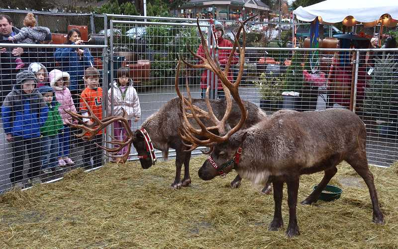 by: VERN UYETAKE - A crowd of children gather to look at reindeer at Dennis' 7 Dees in Lake Oswego last week.