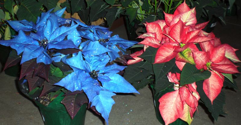 by: OUTLOOK PHOTO: ANNE ENDICOTT - 7-Dees also sells painted poinsettias. Designers use either a floral spray paint or floral dye on the leaves to produce blues, pinks or two-toned salmon colors.