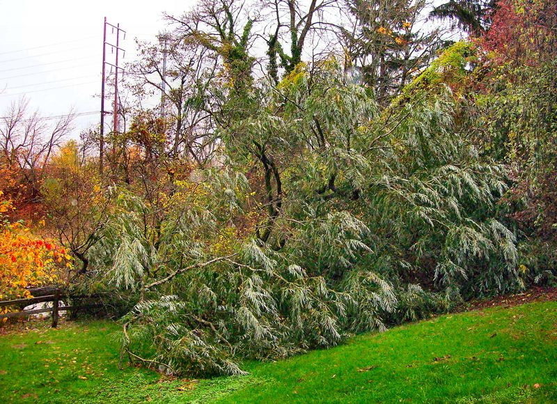 by: RITA A. LEONARD - The toppled willow tree at Johnson Creek Park was nearly hollow at the base.