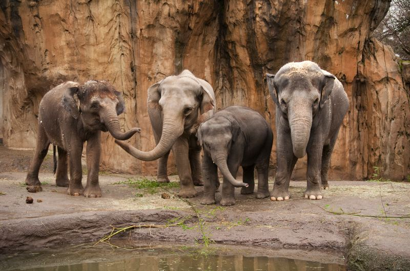 by: CONTRIBUTED PHOTO: MICHAEL DURHAM, COURTESY OREGON ZOO - Asian elephants, from left, Chendra, Rose-Tu, Samudra, and Shine are pictured near a water feature.