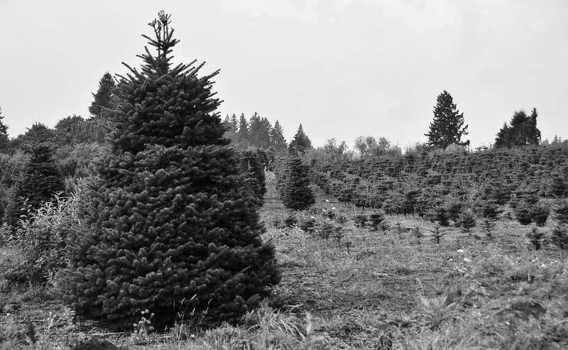 by: VERN UYETAKE - This former Christmas tree farm in the Stafford area is slated to become a compost facility and land mine much to the consternation of area residents.