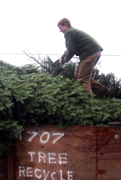 by: CONTRIBUTED PHOTO: BOY SCOUT TROOP 707 - Boy Scouts Troop 707 collects more than 300 Christmas trees each season, which are taken to a Metro compost site.