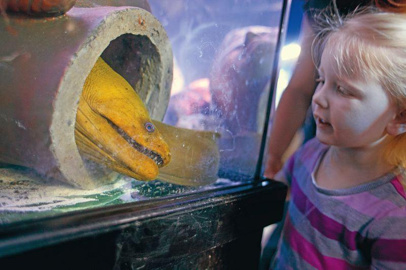 by: TRIBUNE PHOTOS: CHRISTOPHER ONSTOTT - Kids are all eyes at the sea life -- including reef fish (left) and moray eel (above) -- at the new Porltand Aquarium, which opened in December on Southeast McLoughlin Boulevard. The aquarium has been popular, selling about 10,000 memberships, organizers say.