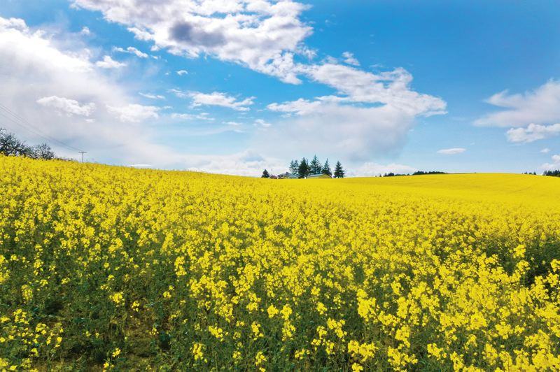 by: PHOTO BY MAUREEN ZOEBELEIN - Canola fields bloom near Banks, a community north of Forest Grove where agriculture officials allow the controversial crop to be planted.