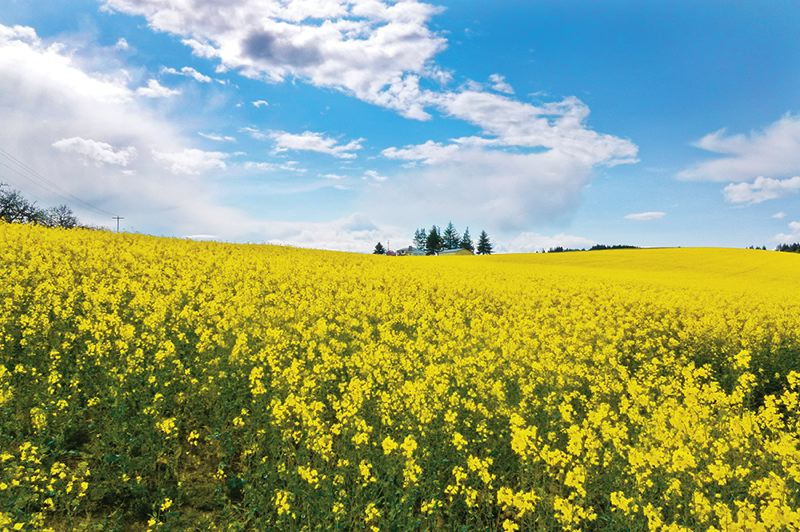 by: MAUREEN ZOEBELEIN - Sprawling fields of canola offer more than just a majestic view. The crop is bringing growers a good profit and specialty seed farmers more worries.