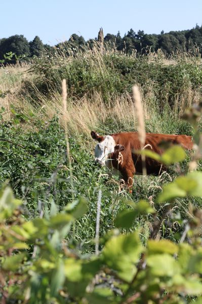 by: SPOTLIGHT FILE PHOTO - Cattle seized from a Scappoose rancher charged with animal neglect graze in a pasture outside of St. Helens last summer.