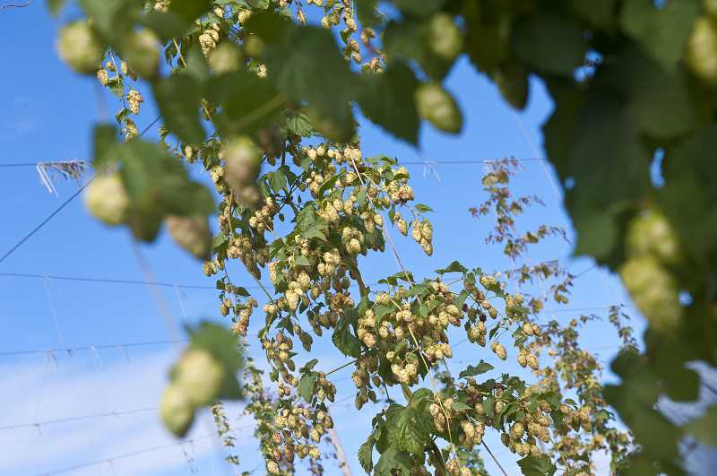 by: SUBMITTED PHOTO: LYNN KETCHUM - Hops grow at Oregon State University's hop yard in Corvallis