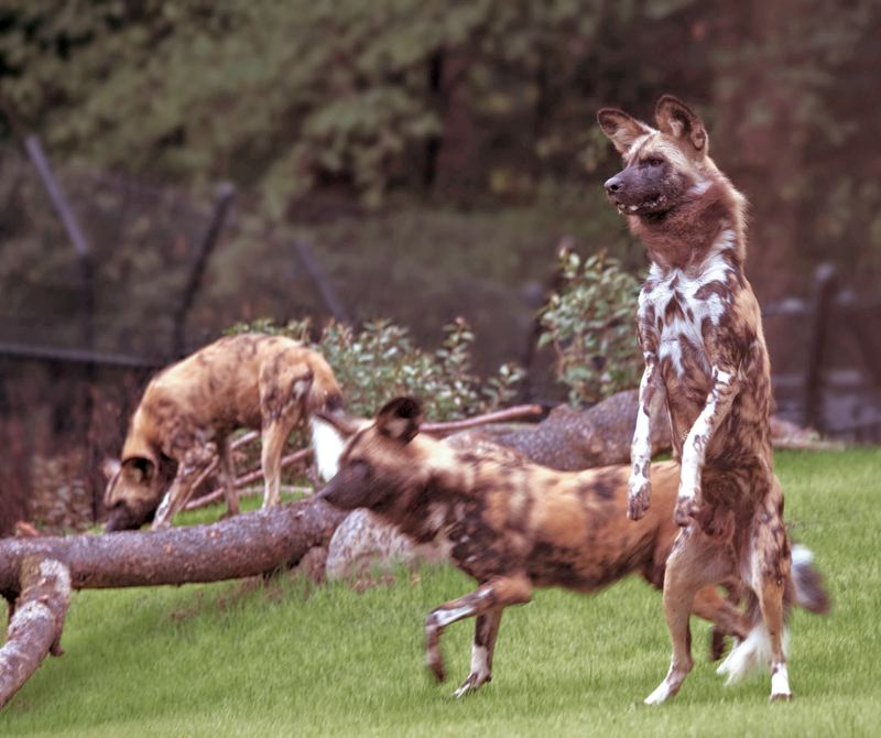 by: COURTESY OF OREGON ZOO - The Oregon Zoo is holding a comedy-night fundraiser to support African wild dogs conservation, Jan. 26. The Zoo is home to four African dogs.