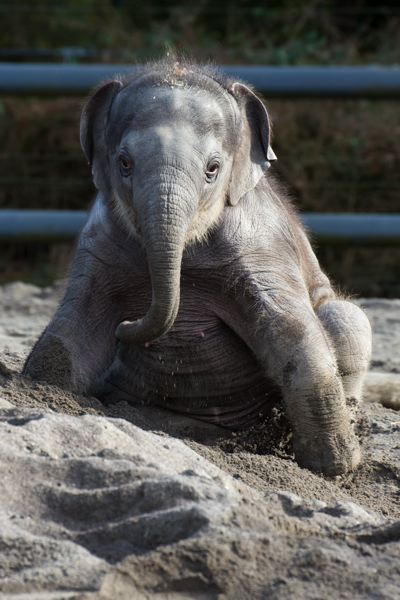 by: COURTESY OF MICHAEL DURHAM: THE OREGON ZOO - Lily, the Asian elephant born Nov. 30, will stay at the Oregon Zoo under an agreement with a California company that claimed rights to the elephant calf.