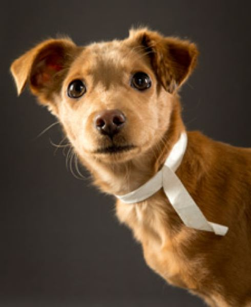 by: COURTESY OF OREGON HUMANE SOCIETY: JOHN VALLS - Winston, a nine-pound Chihuahua mix, was rescued from Brooks in mid-January and will be available for adoption on Wednesday, Feb. 13.