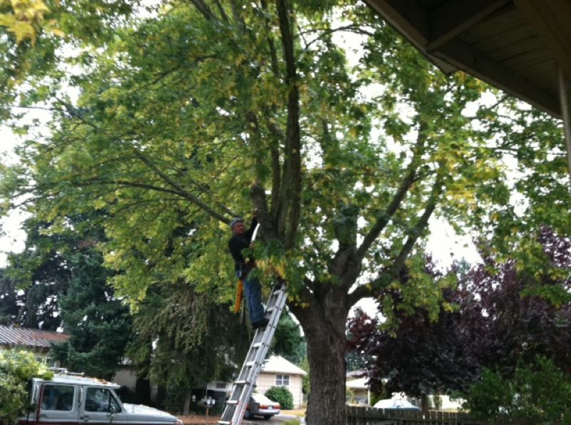 by: COURTESY OF OREGON DEPARTMENT OF FORESTRY  - This silver maple in Springfield received help from a certified arborist twice: once for a crown restoration to save the tree following a topping by prior property owners, and, five years later, to remove several large limbs that came down during last winter's snow storm.