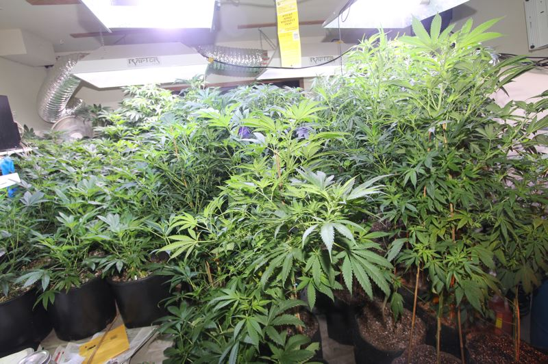 by: CONTRIBUTED PHOTO - Police seized 84 marijuana plants from a house near Boring.