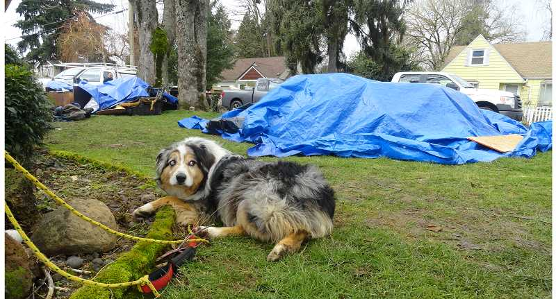 by: ASHLEY ADAMS - Colby is tied up to a tree near a pile of debris left after a house fire in the Oak Grove neighborhood in Milwaukie. Colby is credited with saving the family the night of the fire.