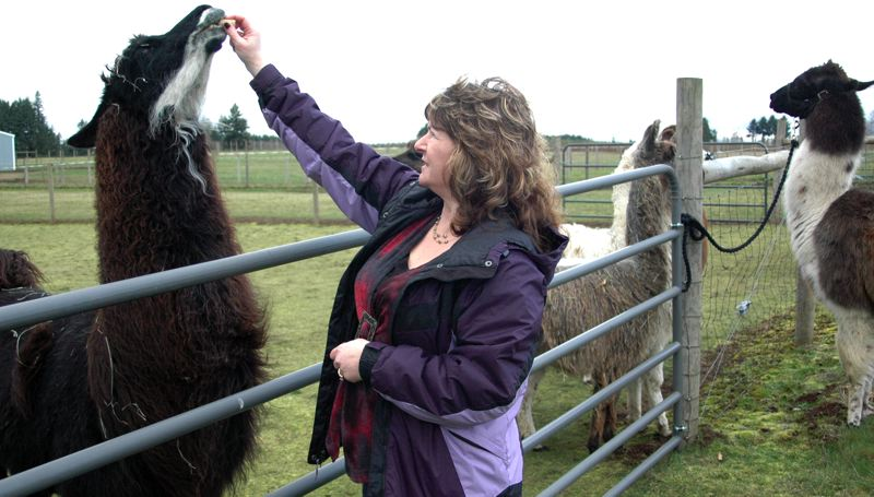 by: NEWS PHOTO: SCOTT JORGENSEN - Tallmon feeds one of her many llamas.