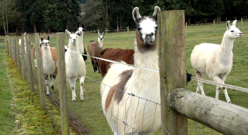 by: NEWS PHOTO: SCOTT JORGENSEN - A group of llamas runs to greet Tallmon as she makes her rounds.