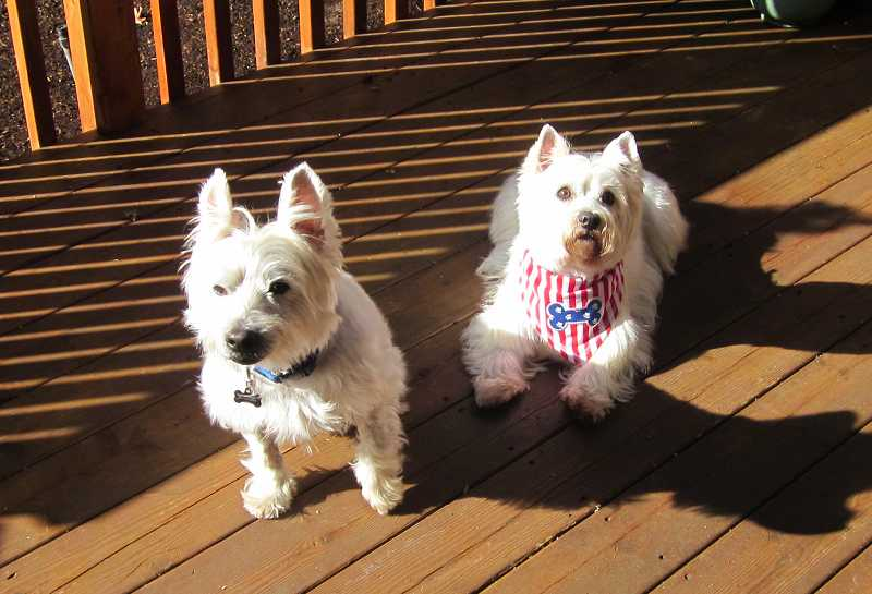 by: BARBARA SHERMAN - FAST FRIENDS - McDuff (left) is owned by Lori Swanson, and Candi is owned by Karen and Herb Bachnofner - all of whom are Summerfield residents.