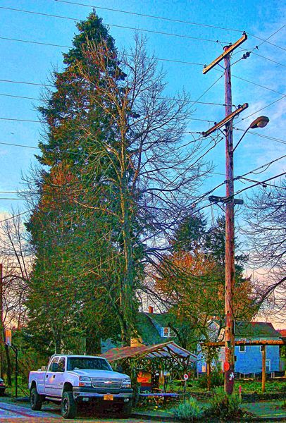 by: RITA A. LEONARD - A last look at the hundred-and-fifty-year-old fir tree lost to Share-It Square development.