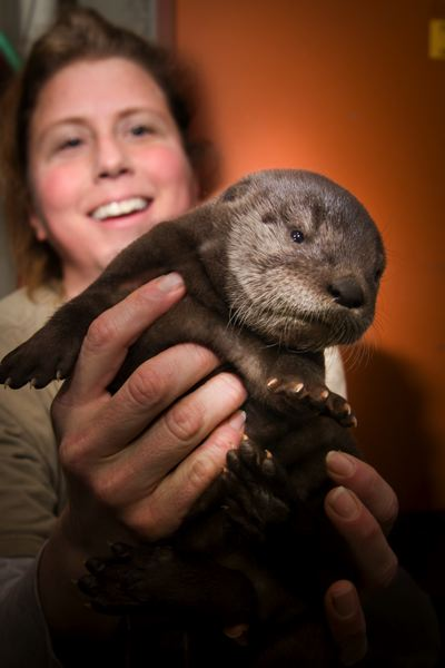 by: PHOTO BY MICHAEL DURHAM, COURTESY OF THE OREGON ZOO. - Julie Christie, senior North America keeper at the Oregon Zoo, examines a baby river otter born Jan. 28 to Tilly.